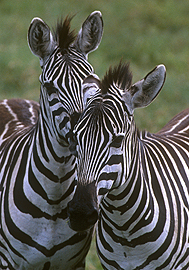 Individual striped patterns identify each zebra