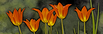 Fire Tulips - Giclee watercolor 8x24 panorama