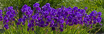 Purple Iris 8x24 Giclee Panorama