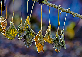 Hanging hollyhock leaves