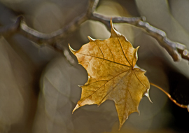 Autumn Leaf 6