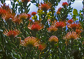 Hawaiian Red Proteas