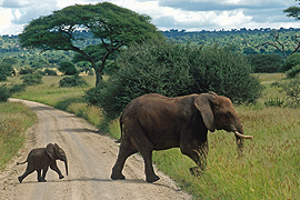 Elephants in Manyara National Park, Tanzania