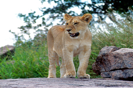 Lion cub on kopje rock island
