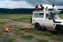 Lions on safari