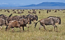 Wildebeest on the Serengeti
