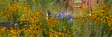 flower garden panorama yellow Black eyed Susan's