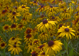 Garden flowers, yellow black eyed susan's blooming