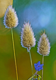 Bunny Tail grasses, blue forget me not flower