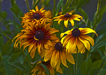 HDR Blackeyed Susans
